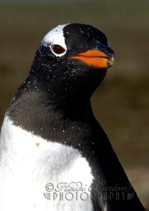 A Gentoo penguin on Sea Lion island, Falkland Islands.