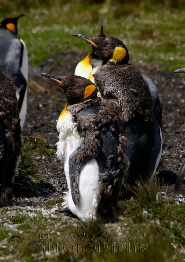 King Penguins moulting, Volunteer Point, Falkland Islands